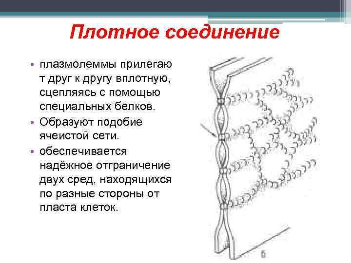 Плотное соединение • плазмолеммы прилегаю т друг к другу вплотную, сцепляясь с помощью специальных