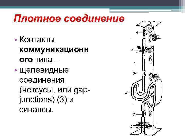 Плотное соединение • Контакты коммуникационн ого типа – • щелевидные соединения (нексусы, или gapjunctions)