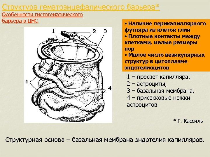 Структура гематоэнцефалического барьера* Особенности гистогематического барьера в ЦНС • Наличие перикапиллярного футляра из клеток