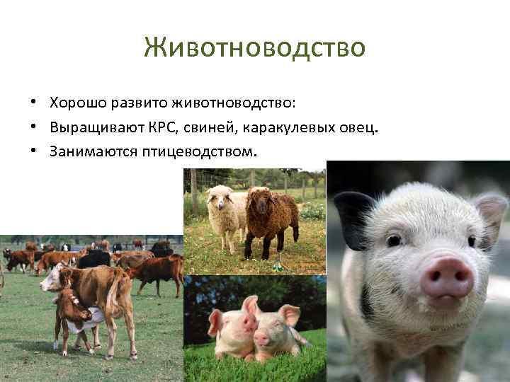 Животноводство • Хорошо развито животноводство: • Выращивают КРС, свиней, каракулевых овец. • Занимаются птицеводством.