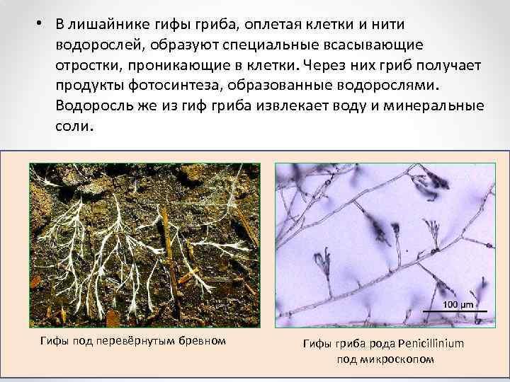 • В лишайнике гифы гриба, оплетая клетки и нити водорослей, образуют специальные всасывающие