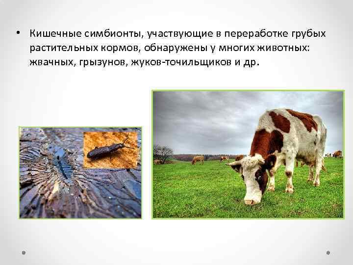 • Кишечные симбионты, участвующие в переработке грубых растительных кормов, обнаружены у многих животных: