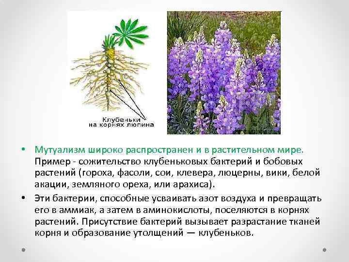 • Мутуализм широко распространен и в растительном мире. Пример - сожительство клубеньковых бактерий