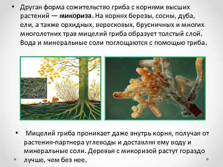 • Другая форма сожительство гриба с корнями высших растений — микориза. На корнях