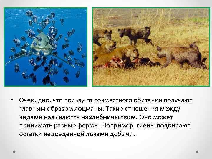 • Очевидно, что пользу от совместного обитания получают главным образом лоцманы. Такие отношения