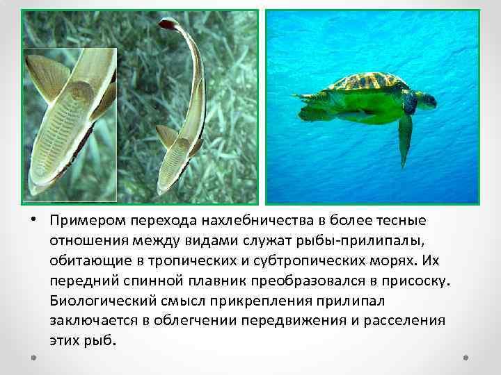 • Примером перехода нахлебничества в более тесные отношения между видами служат рыбы-прилипалы, обитающие