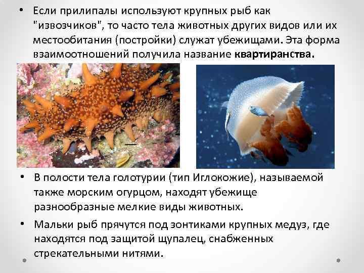 • Если прилипалы используют крупных рыб как