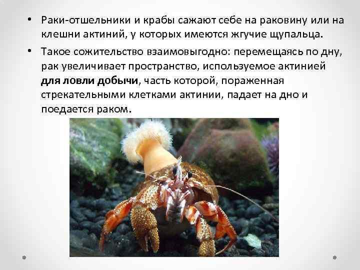• Раки-отшельники и крабы сажают себе на раковину или на клешни актиний, у