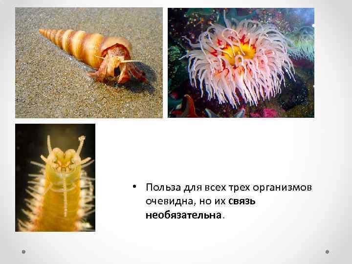 • Польза для всех трех организмов очевидна, но их связь необязательна.