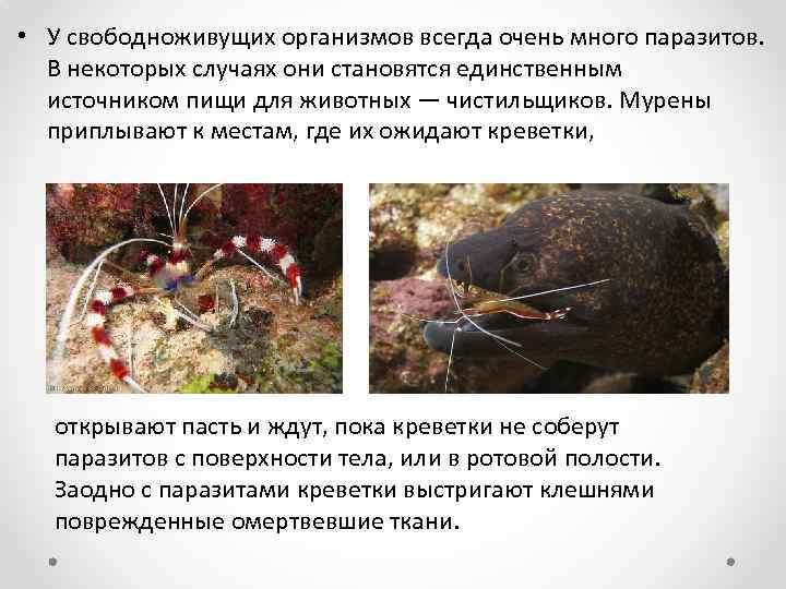 • У свободноживущих организмов всегда очень много паразитов. В некоторых случаях они становятся