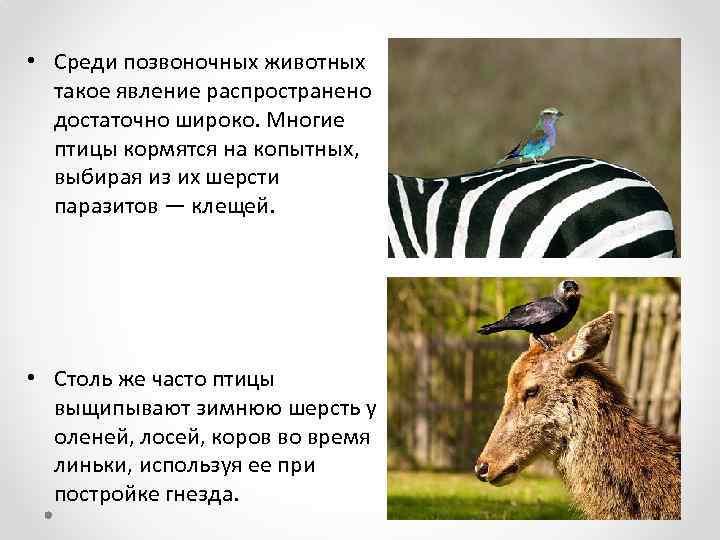 • Среди позвоночных животных такое явление распространено достаточно широко. Многие птицы кормятся на