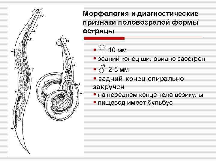 Морфология и диагностические признаки половозрелой формы острицы § ♀ 10 мм § задний конец