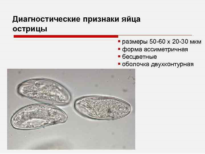 Диагностические признаки яйца острицы § размеры 50 -60 х 20 -30 мкм § форма