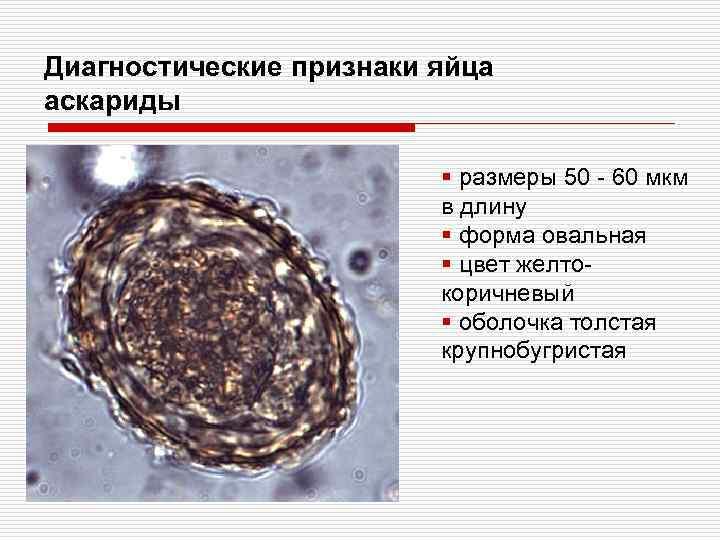 Диагностические признаки яйца аскариды § размеры 50 - 60 мкм в длину § форма