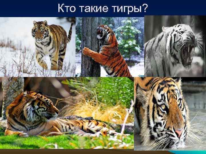 Кто такие тигры?