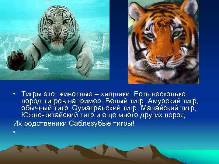 • Тигры это животные – хищники. Есть несколько пород тигров например: Белый тигр,