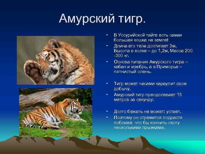 Амурский тигр. • • В Уссурийской тайге есть самая большая кошка на земле! Длина