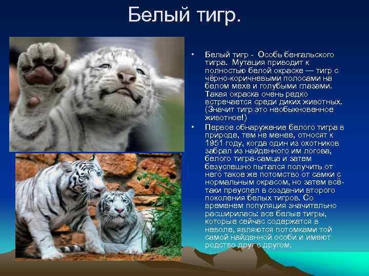 Белый тигр. • • Белый тигр - Особь бенгальского тигра. Мутация приводит к полностью
