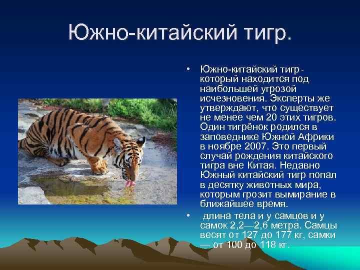 Южно-китайский тигр. • Южно-китайский тигр - который находится под наибольшей угрозой исчезновения. Эксперты же