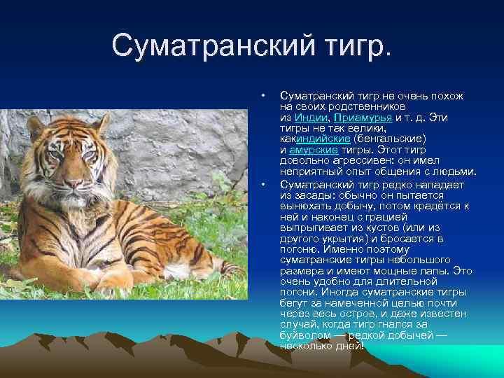Суматранский тигр. • • Суматранский тигр не очень похож на своих родственников из Индии,