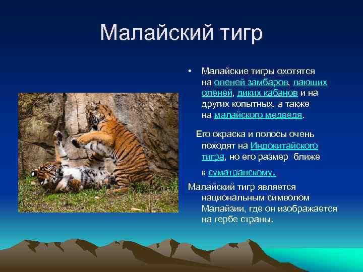 Малайский тигр • Малайские тигры охотятся на оленей замбаров, лающих оленей, диких кабанов и