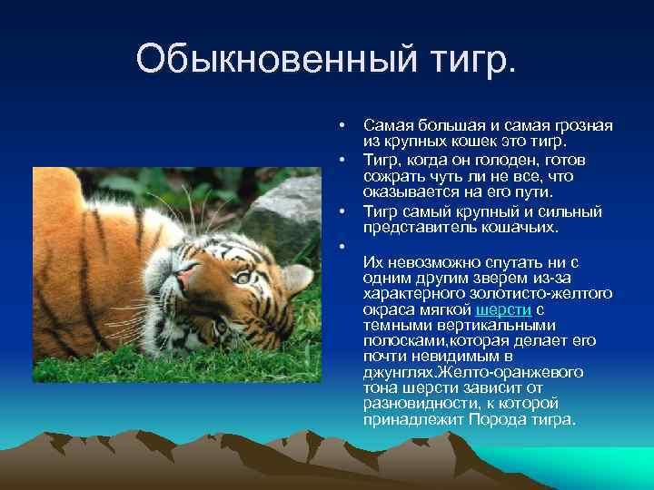 Обыкновенный тигр. • • Самая большая и самая грозная из крупных кошек это тигр.