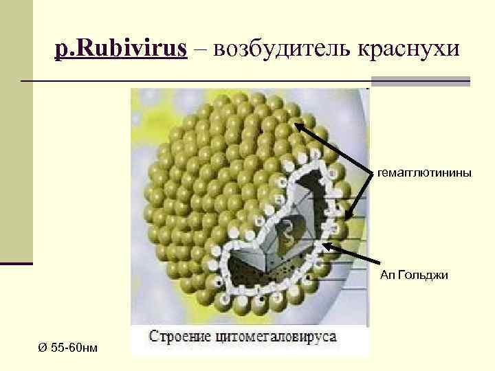 р. Rubivirus – возбудитель краснухи гемагглютинины Ап Гольджи Ø 55 -60 нм