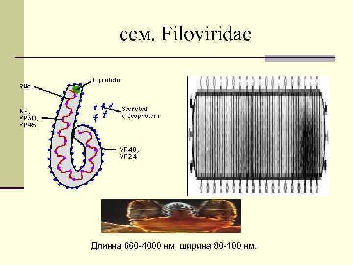 cем. Filoviridae Длинна 660 -4000 нм, ширина 80 -100 нм.