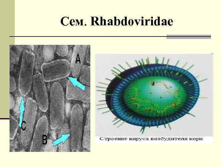 Сем. Rhabdoviridae