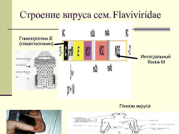 Строение вируса сем. Flaviviridae Гликопротеин Е (гемагглютинин) Интегральный белок М Генном вируса