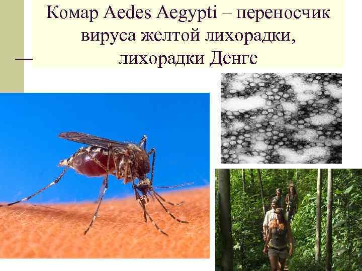 Комар Aedes Aegypti – переносчик вируса желтой лихорадки, лихорадки Денге