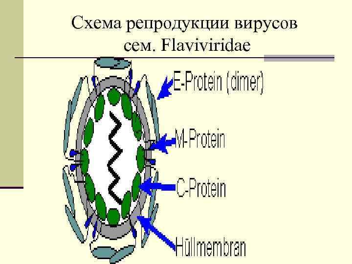 Схема репродукции вирусов cем. Flaviviridae