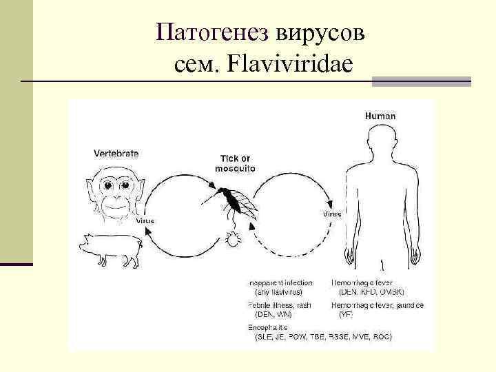 Патогенез вирусов cем. Flaviviridae