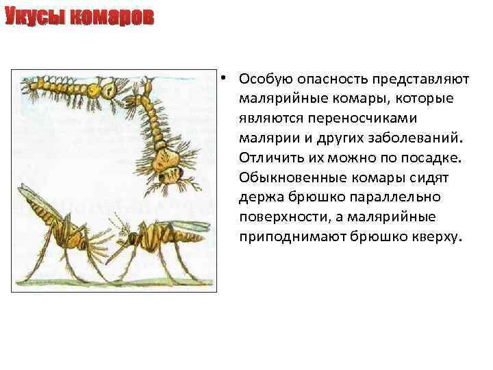 Укусы комаров • Особую опасность представляют малярийные комары, которые являются переносчиками малярии и других