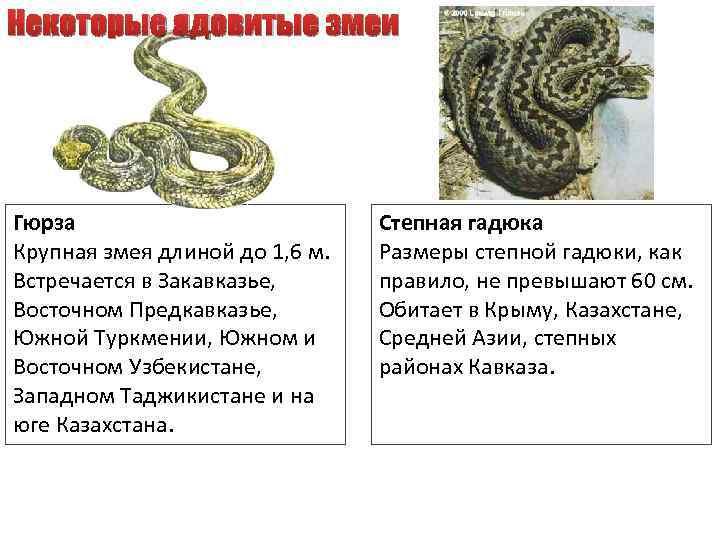 Некоторые ядовитые змеи Гюрза Крупная змея длиной до 1, 6 м. Встречается в Закавказье,
