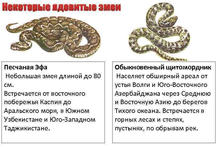 Некоторые ядовитые змеи Песчаная Эфа Небольшая змея длиной до 80 см. Встречается от восточного