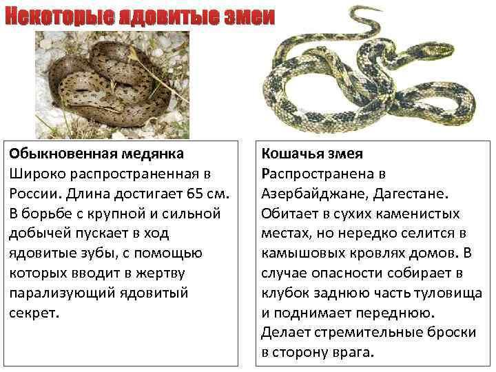 Некоторые ядовитые змеи Обыкновенная медянка Широко распространенная в России. Длина достигает 65 см. В