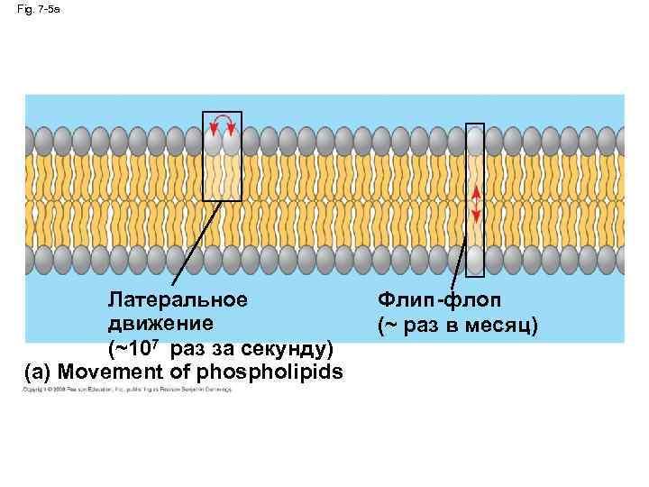 Fig. 7 -5 a Латеральное движение (~107 раз за секунду) (a) Movement of phospholipids