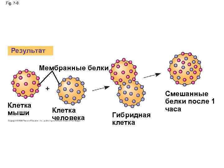 Fig. 7 -6 Результат Мембранные белки Клетка мыши Клетка человека Гибридная клетка Смешанные белки