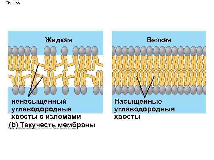 Fig. 7 -5 b Жидкая ненасыщенный углеводородные хвосты с изломами (b) Текучесть мембраны Вязкая
