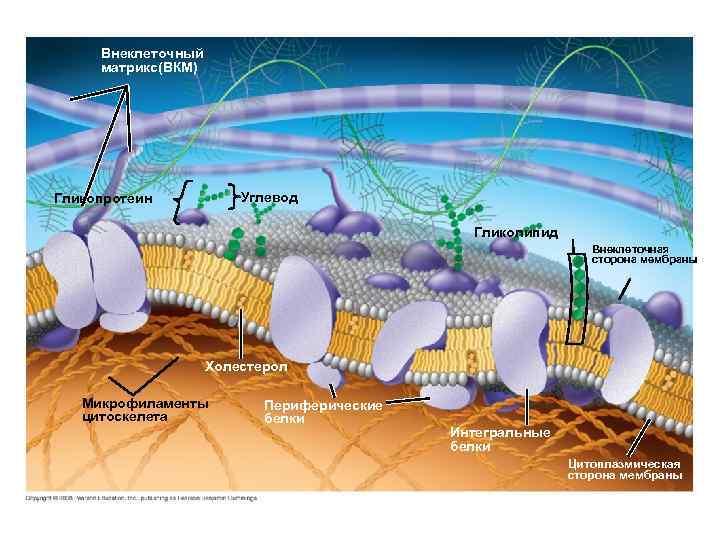 Fig. 7 -7 Внеклеточный матрикс(ВКМ) Углевод Гликопротеин Гликолипид Внеклеточная сторона мембраны Холестерол Микрофиламенты цитоскелета