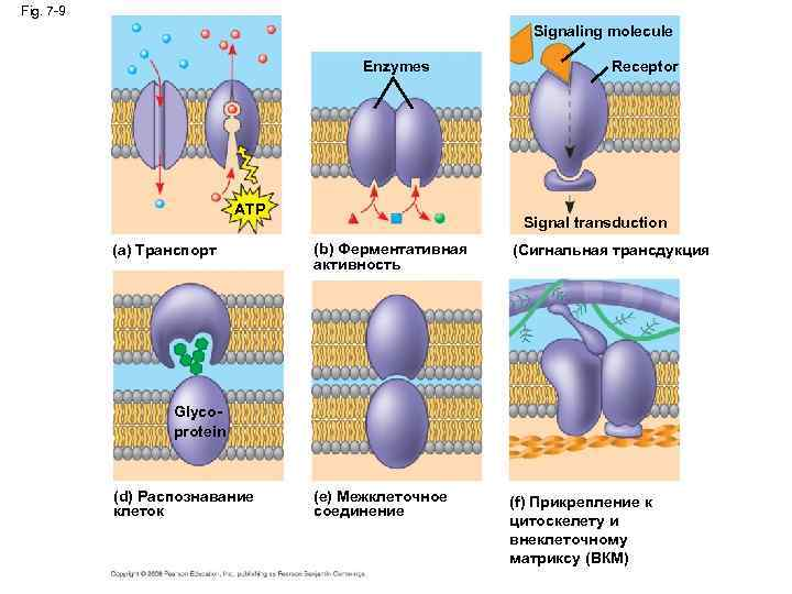 Fig. 7 -9 Signaling molecule Enzymes ATP (a) Транспорт Receptor Signal transduction (b) Ферментативная