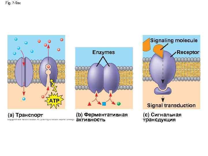 Fig. 7 -9 ac Signaling molecule Enzymes ATP (a) Транспорт Receptor Signal transduction (b)