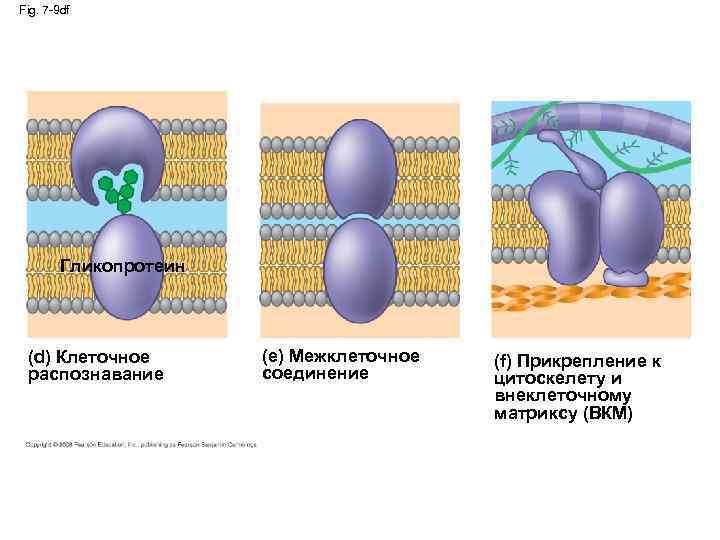 Fig. 7 -9 df Гликопротеин (d) Клеточное распознавание (e) Межклеточное соединение (f) Прикрепление к