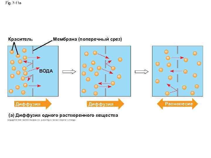 Fig. 7 -11 a Краситель Мембрана (поперечный срез) ВОДА Диффузия (a) Диффузия одного растворенного