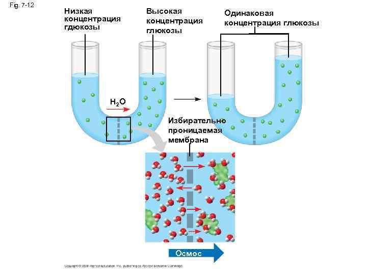 Fig. 7 -12 Низкая концентрация гдюкозы Высокая концентрация глюкозы Одинаковая концентрация глюкозы H 2