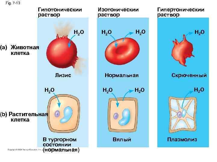 Fig. 7 -13 Гипотоническии раствор H 2 O Изотоническии раствор H 2 O Гипертоническии