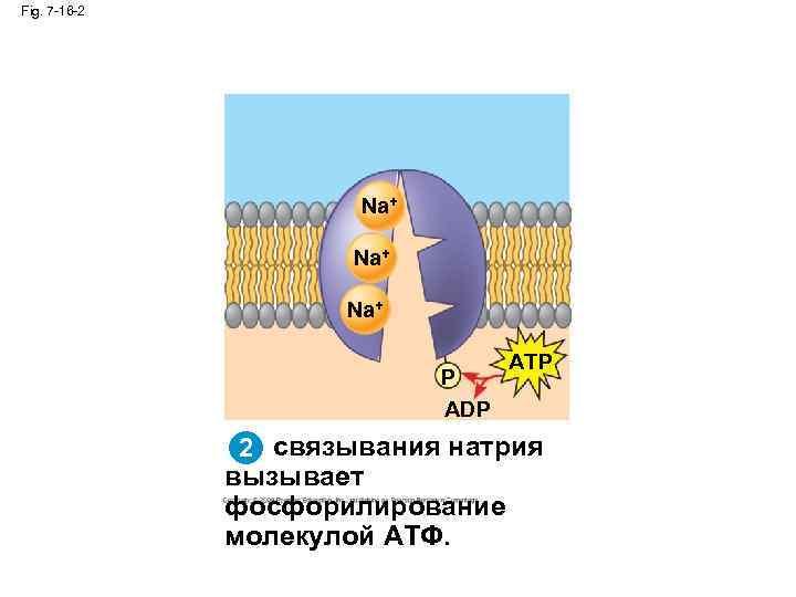 Fig. 7 -16 -2 Na+ Na+ P ADP ATP 2 связывания натрия вызывает фосфорилирование