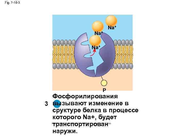 Fig. 7 -16 -3 Na+ Na+ P Фосфорилирования 3 вызывают изменение в 3 сруктуре