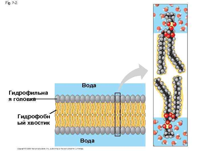 Fig. 7 -2 Вода Гидрофильна я головка Гидрофобн ый хвостик Вода